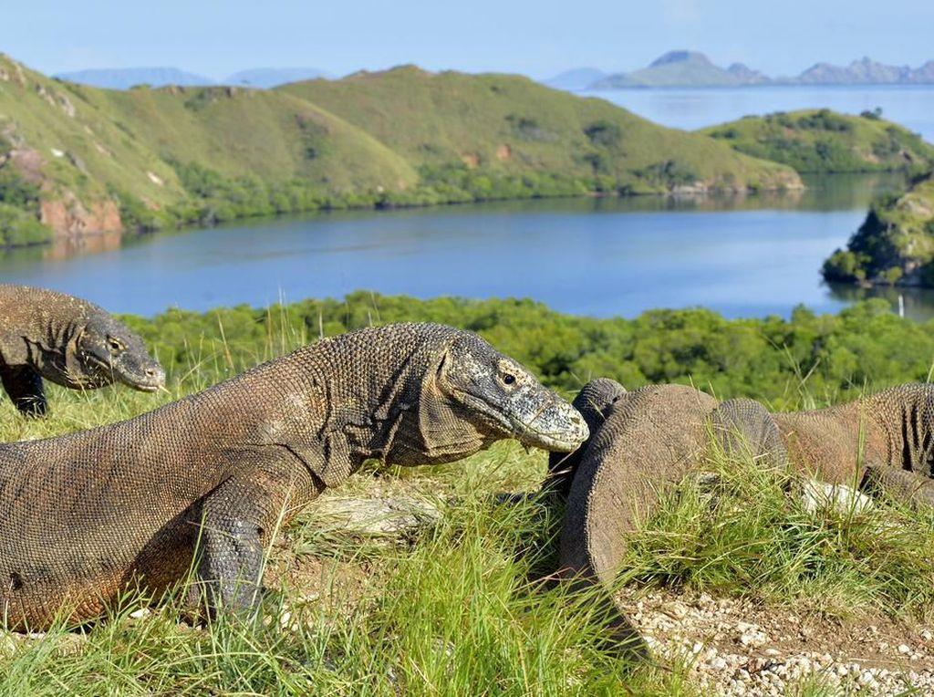 Taman Nasional Komodo dan Fakta Seputar Kadal Purba Raksasa Indonesia