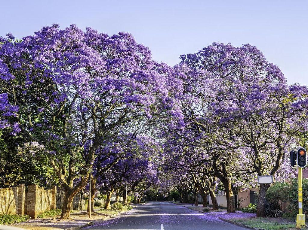 Cantik Karena Pohon Jacaranda, Warga Kota Sydney Malah Sebal