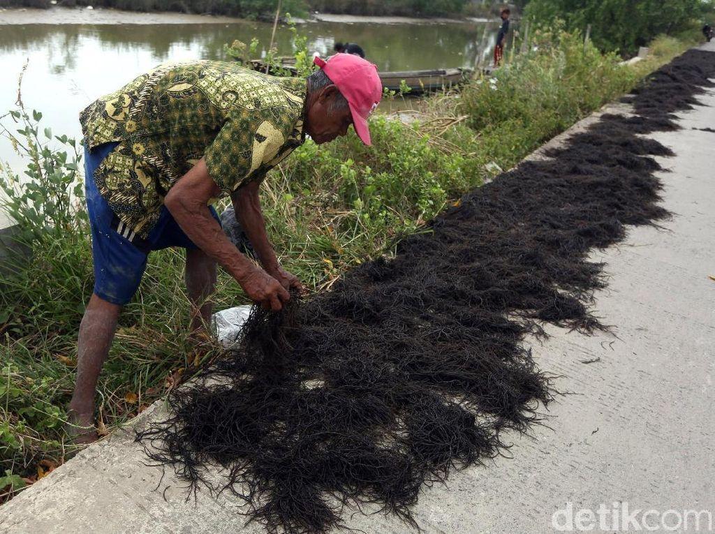 Melihat Aktivitas Warga Muara Gembong Menjemur Rumput Laut