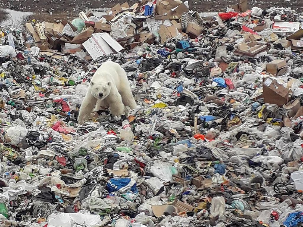 Miris, Beruang Kutub Mengais Sampah Demi Makanan di Siberia