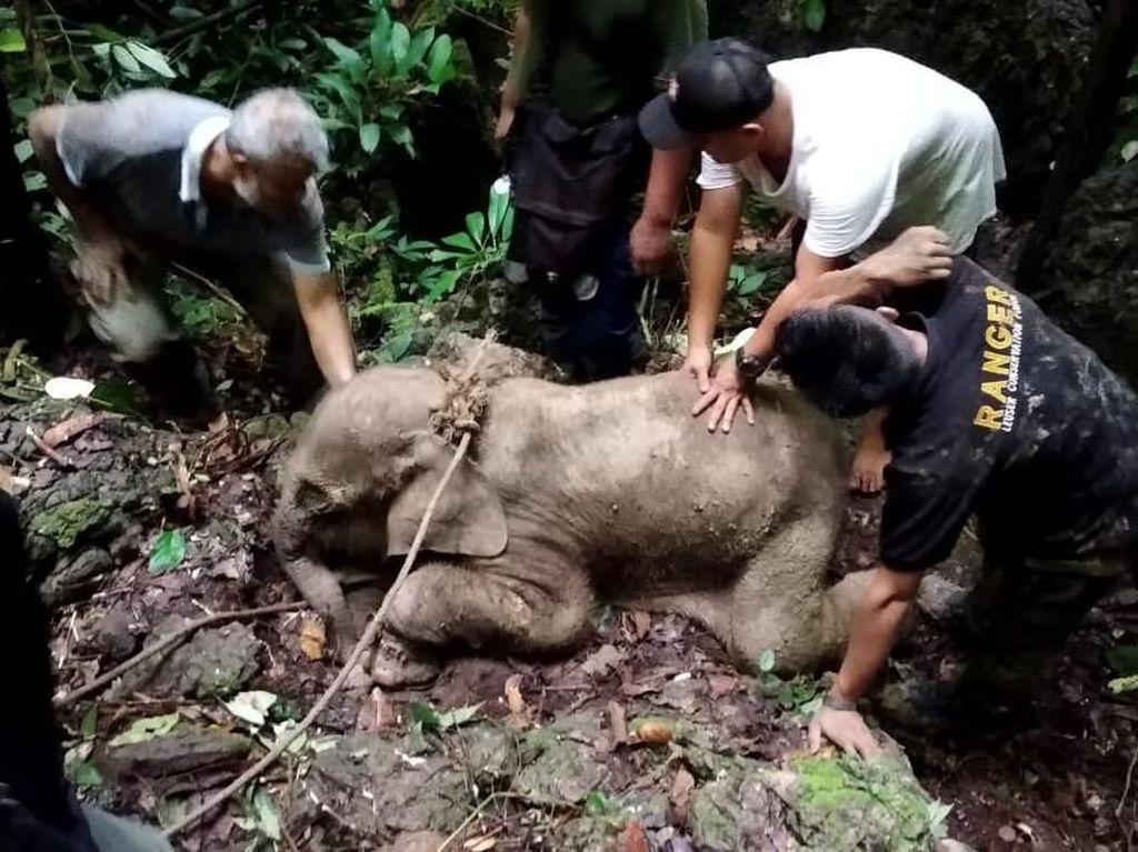 Terkena Jerat, Anak Gajah di Aceh Timur Luka Parah