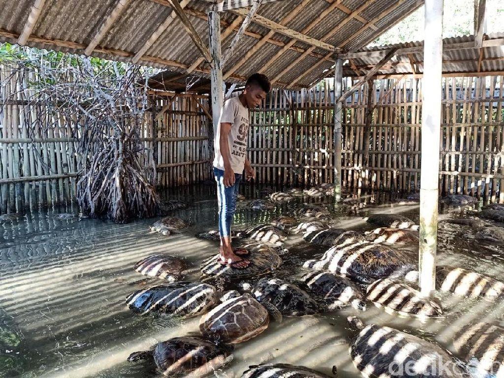 Potret Penyu Diinjak-injak di Pusat Konservasi di Tanjung Benoa