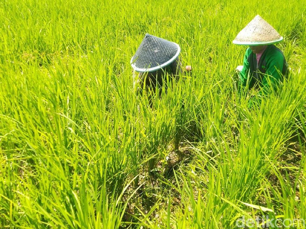 1.040 Hektare Sawah di Ciamis Kekeringan dan Terancam Puso