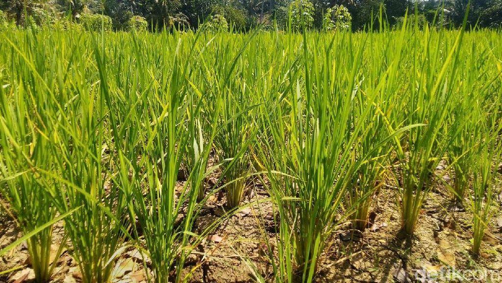 Belasan Hektar Sawah di Ciamis Terancam Gagal Panen