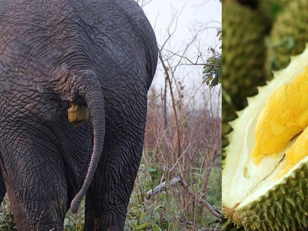 Berani Cicip? Ini Durian Tahi Gajah yang Jadi Buruan Banyak Orang