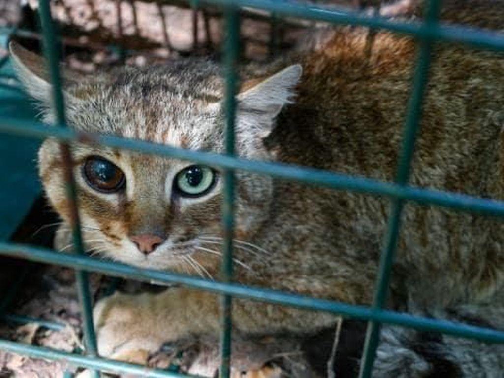 Foto: Makhluk Mitos Mirip Kucing dari Prancis