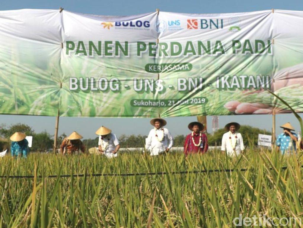 Panen Perdana, UNS Jalin Kerja Sama On Farm dengan Bulog
