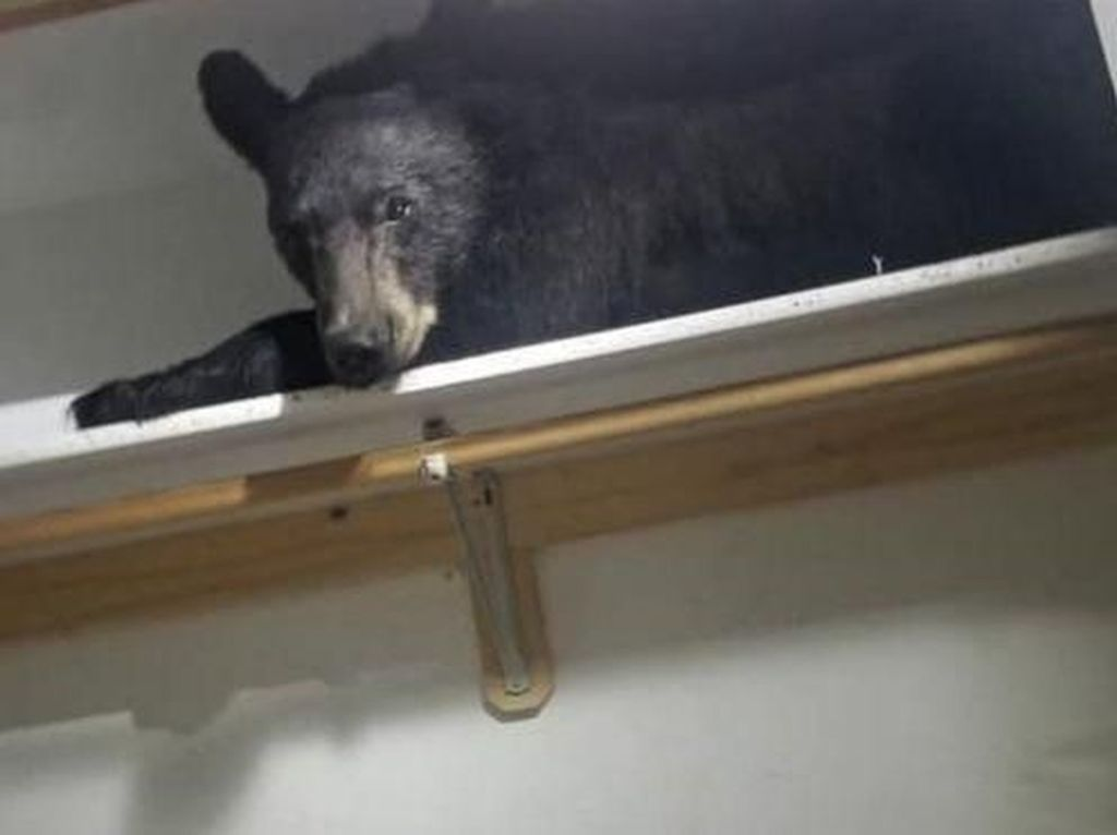 Bikin Kaget! Beruang Ini Ditemukan Tidur di Lemari Pakaian Rumah