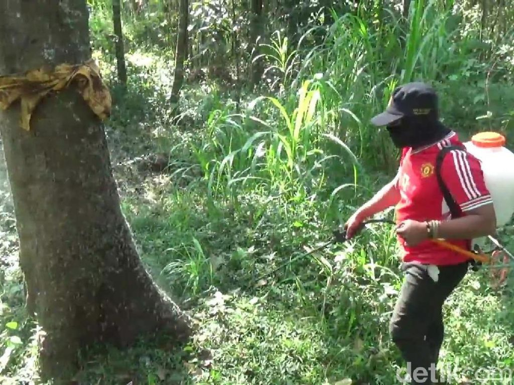 Kendalikan Ulat Bulu di Pasuruan, Dinas Pertanian Melakukan Penyemprotan