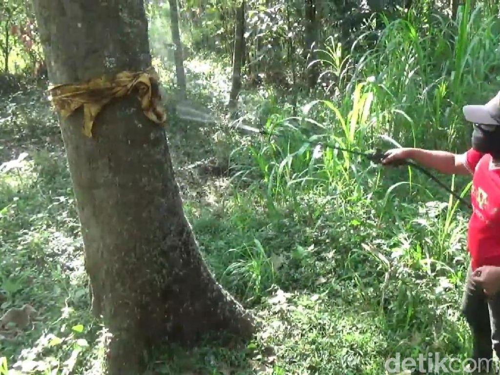 Ulat Bulu Resahkan Warga, Dinas Pertanian Pasuruan Janji Basmi Hingga Tuntas