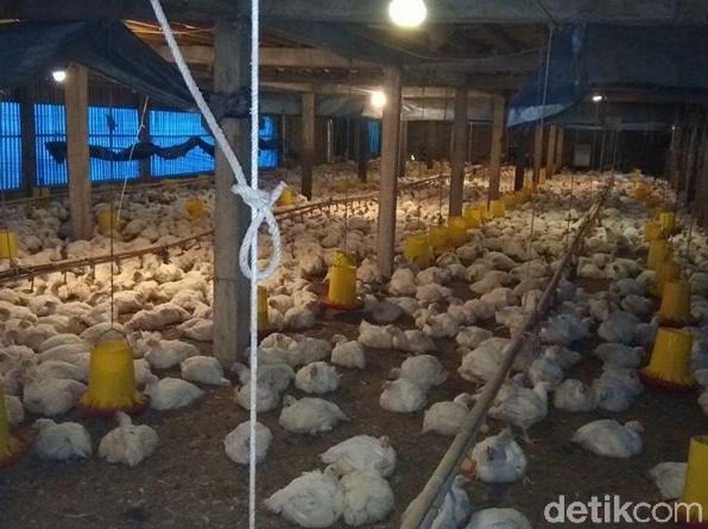 Selamatkan Peternak, Kemendag bakal Gelar Bazar Ayam