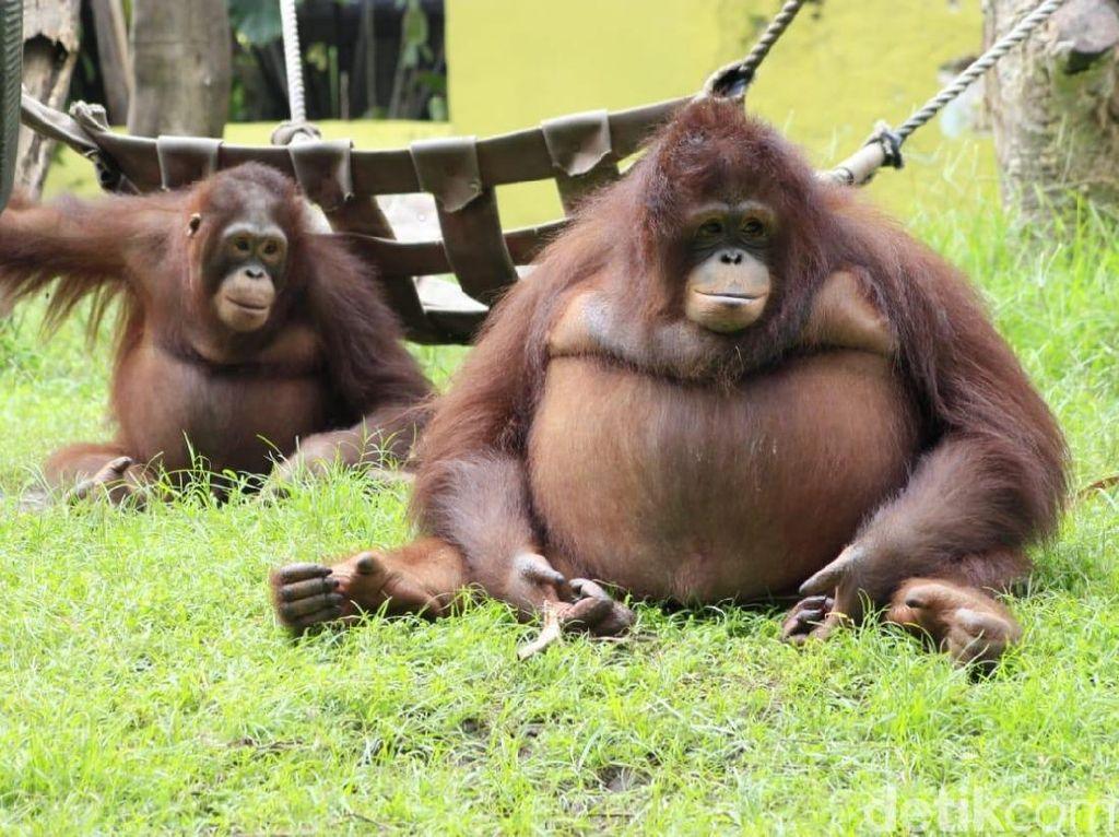 Ini Penjelasan KBS Soal Video Viral Keeper Pukuli Orangutan