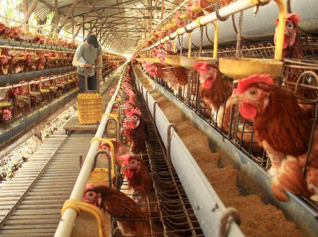 Jurus Kementan Pulihkan Anjloknya Harga Ayam