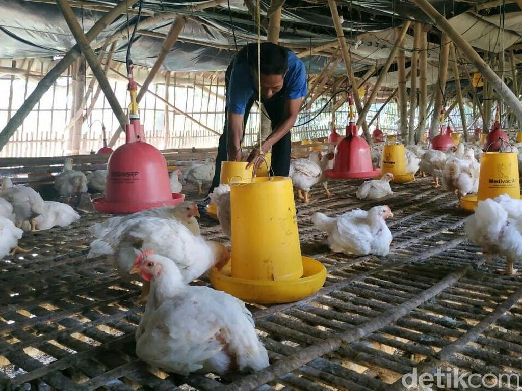 Kementan Janji Perjuangkan Kendala Harga Ayam Peternak