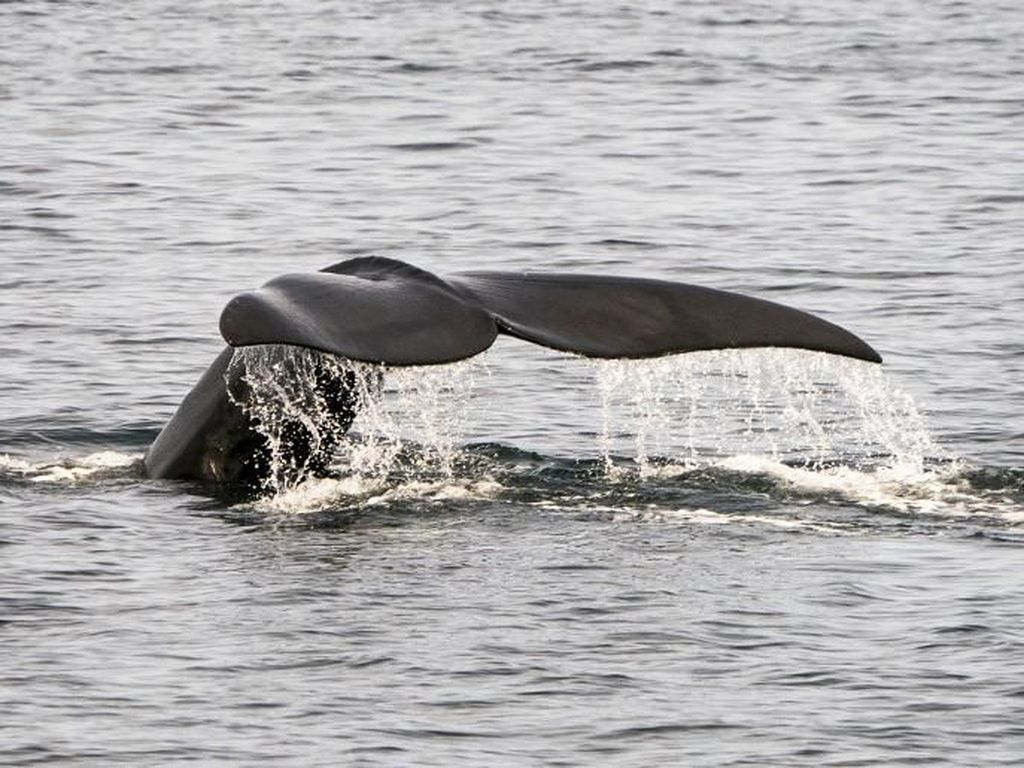 6 Bangkai Paus yang Terancam Punah Ditemukan di Perairan Kanada