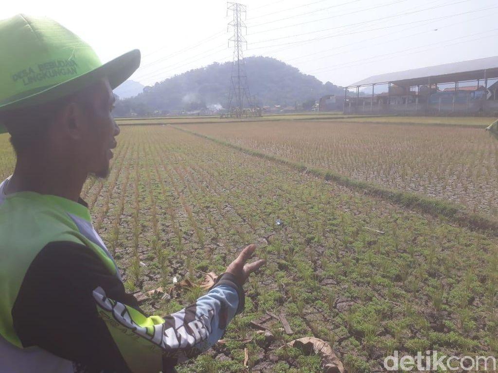 Sawah di Bandung Barat Mengering, Begini Respons Hengky Kurniawan
