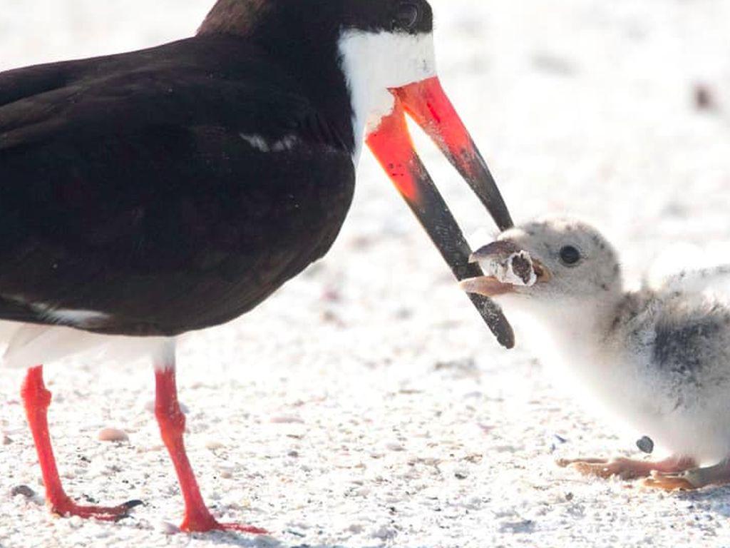 Viral Foto Miris Burung Laut Beri Makan Anaknya Puntung Rokok