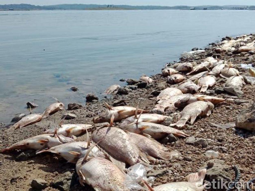 Jutaan Ikan di Waduk Kedungombo Mati Mendadak, Petani di Boyolali Siaga