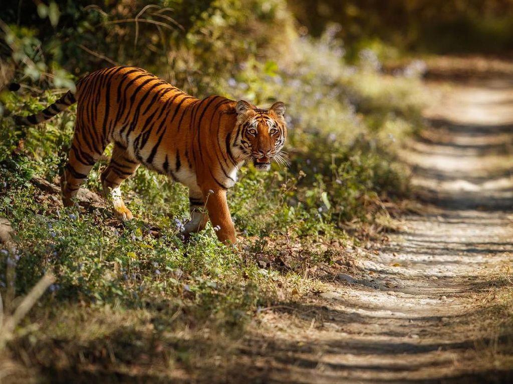 Harimau Masuki Perkampungan, Warga Padang Lawas Sumut Ketakutan