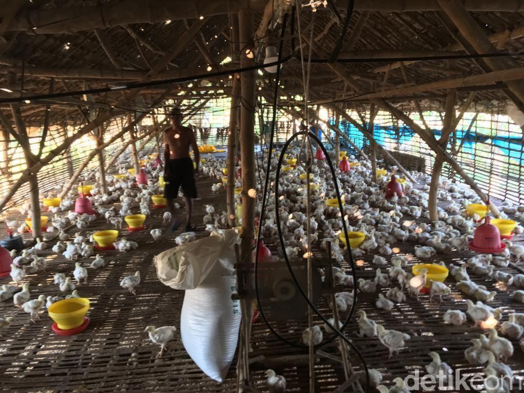 Harga Ayam Berangsur Naik, Ini Permintaan Peternak Agar Tak Kembali Anjlok