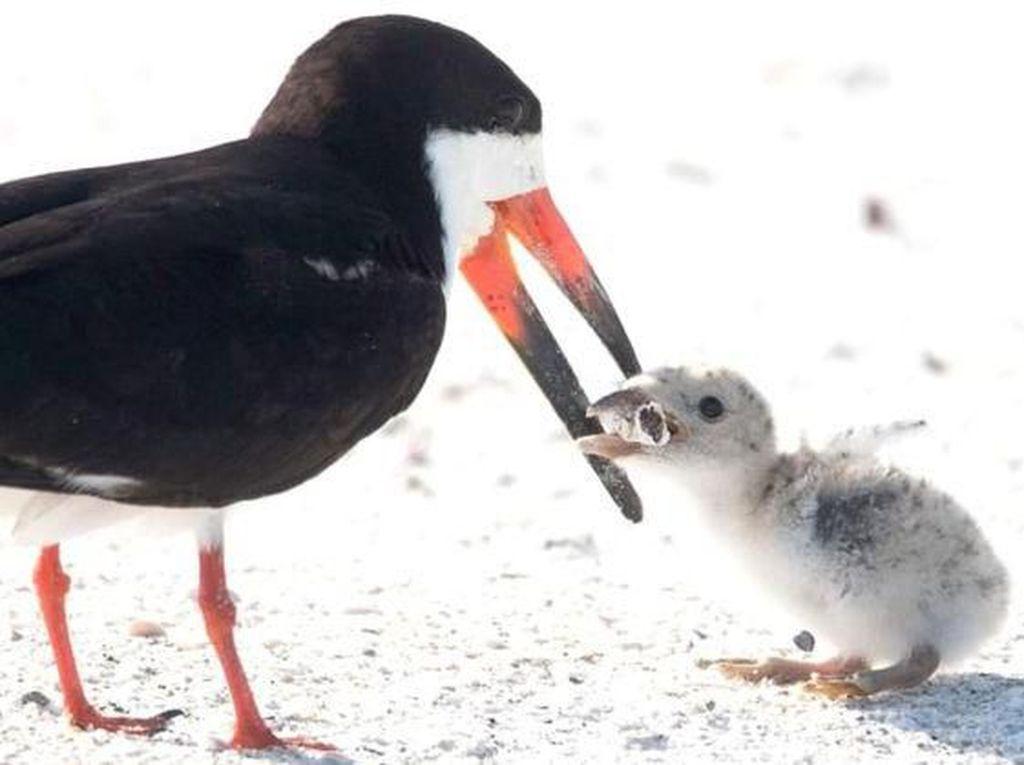 Dikira Makanan, Burung Ini Kasih Puntung Rokok ke Anaknya