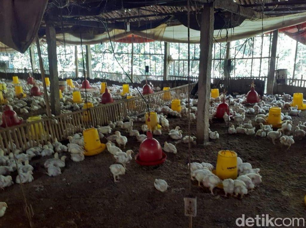 Strategi Kementan Cegah Peternak Ayam Gulung Tikar