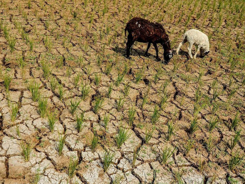9.843 Ha Lahan Pertanian 4 Kabupaten di Banten Dilanda Kekeringan