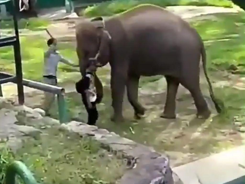 Viral! Gajah Kesakitan Habis Dipukul Pawang