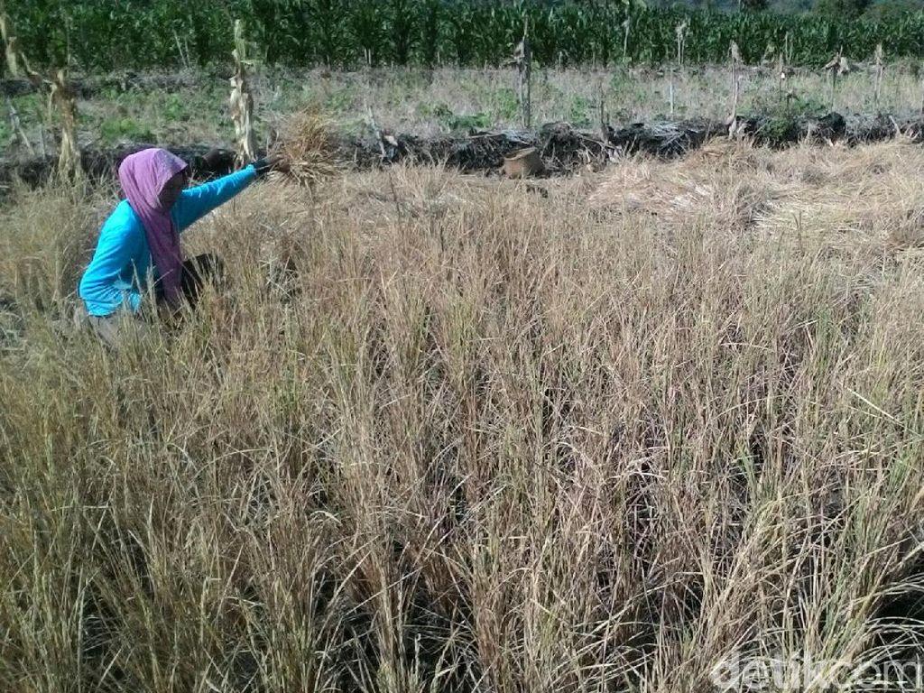 Bahas Kekeringan, Kementan Kumpulkan Dinas Pertanian 3 Pulau