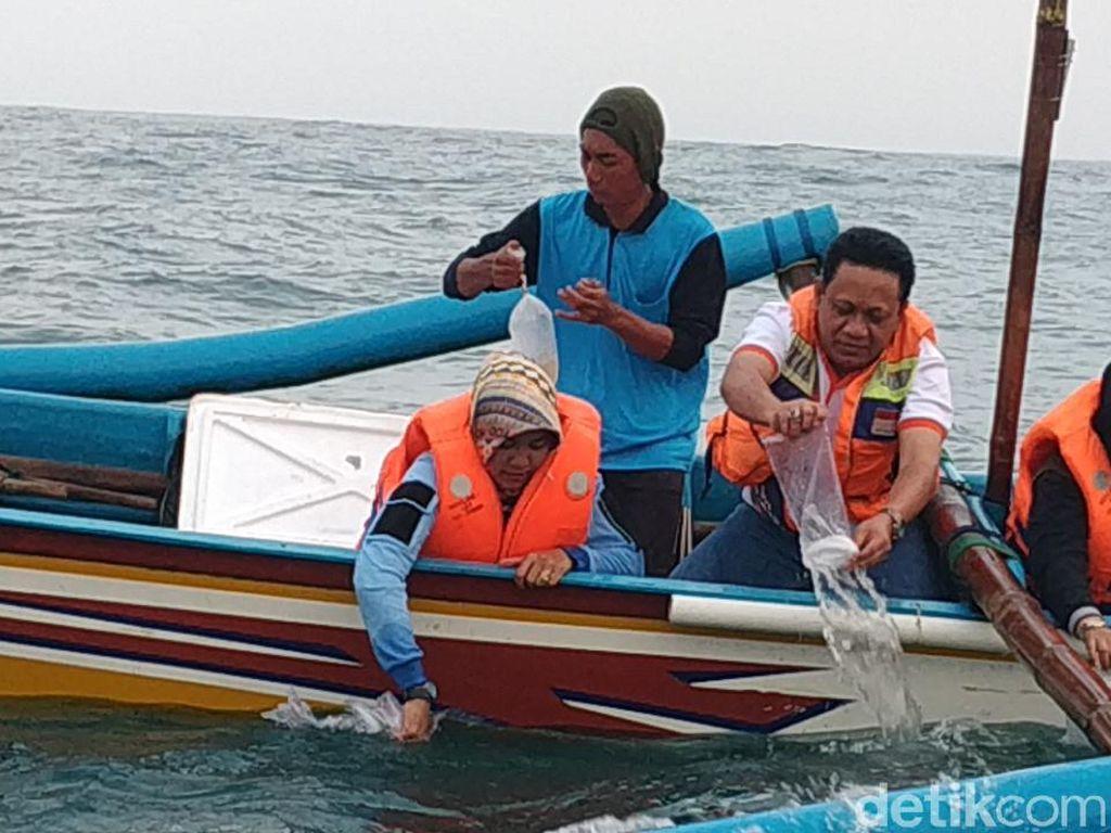 Belasan Ribu Baby Lobster Dilepasliarkan di Pantai Watukarung Pacitan