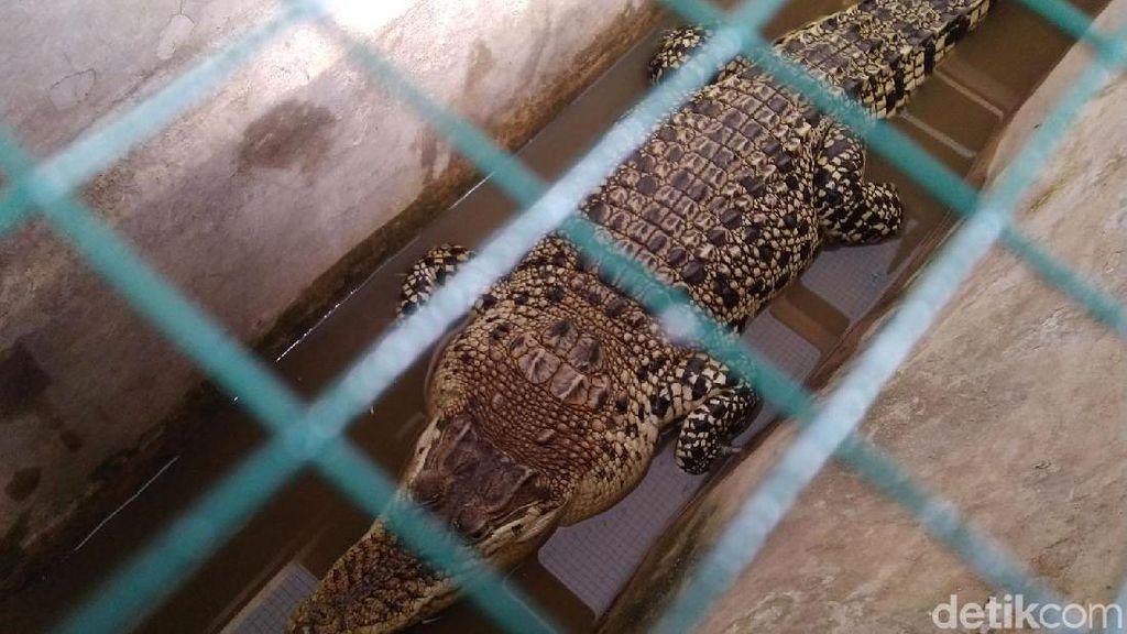 Penampakan Buaya Muara yang Diamankan di BKSDA III Ciamis