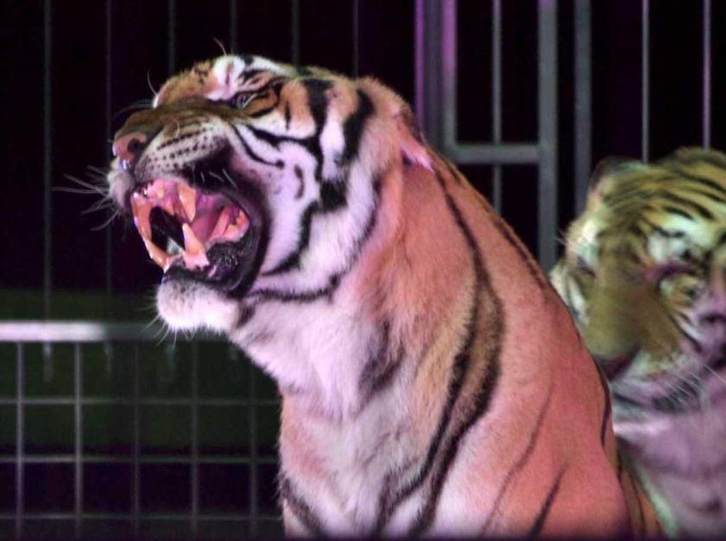 Diserang 4 Harimau Sirkus, Pawang Tenar di Italia Tewas