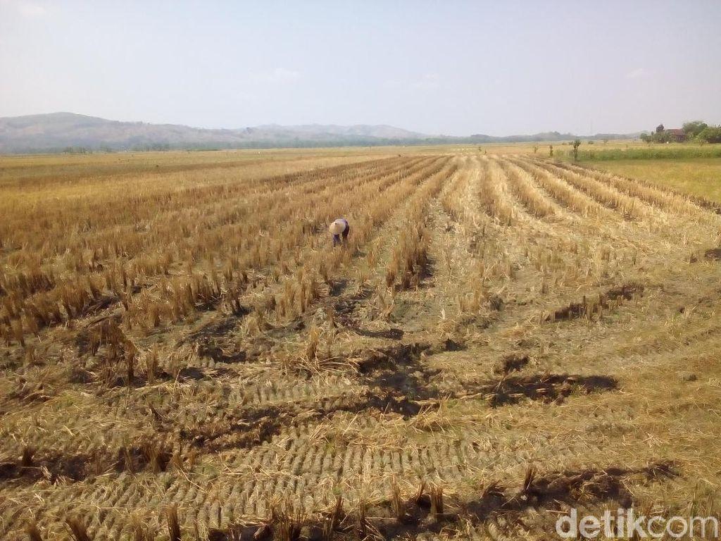 9.300 Hektare Sawah Gagal Panen