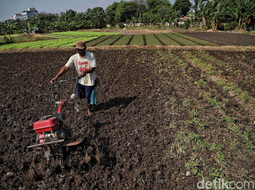 Potret Petani Sayuran di Utara Jakarta Melawan Kekeringan