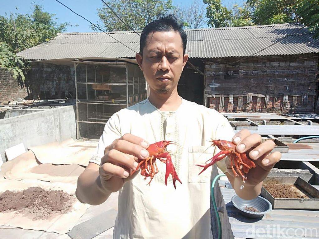 Mengintip Budidaya Lobster Hias yang Kian Menggeliat di Sidoarjo