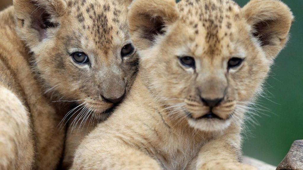 Gemas! Lucunya Bayi Singa di Kebun Binatang Republik Ceko