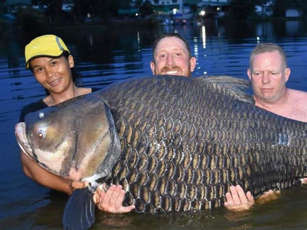 Super Jumbo! Ikan Mas 105 Kg Berhasil Ditangkap di Thailand
