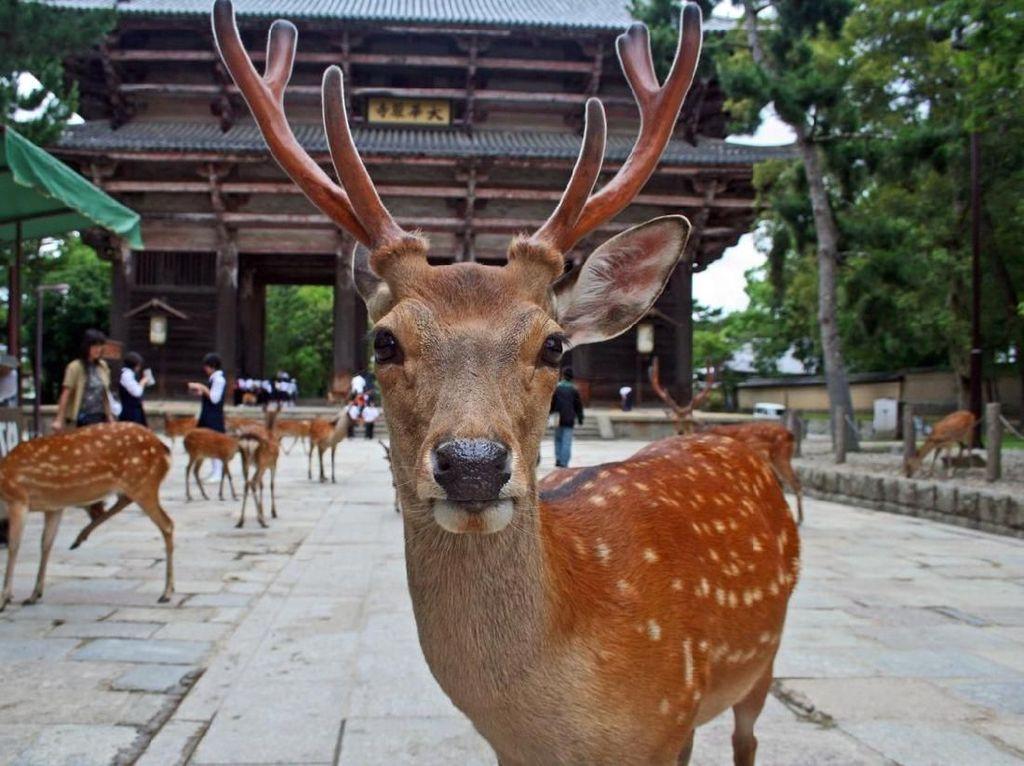 Tak Ada Turis, Rusa-Rusa di Nara Park Jadi Sehat Banget