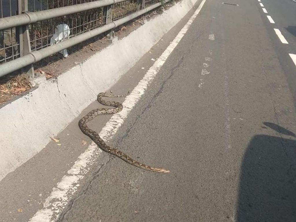 Ular Piton 2,5 Meter Berkeliaran di Exit Tol Slipi Jakbar, Kok Bisa?