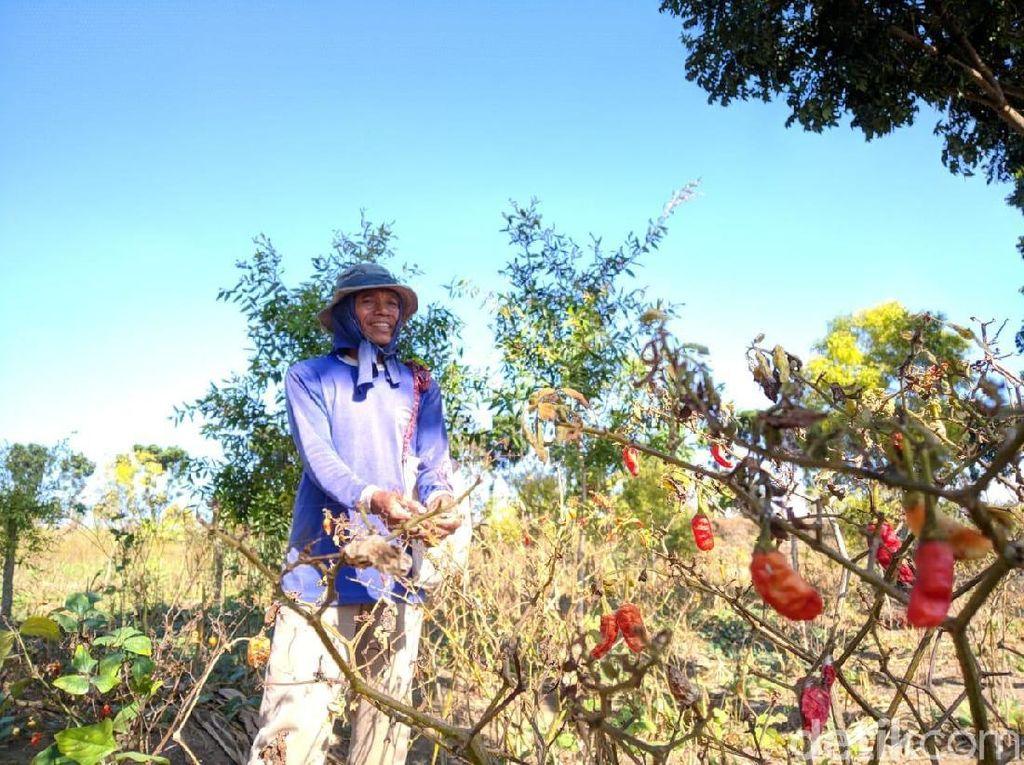 Kasihan Petani di Mojokerto, Merugi Karena Tanaman Cabainya Kering