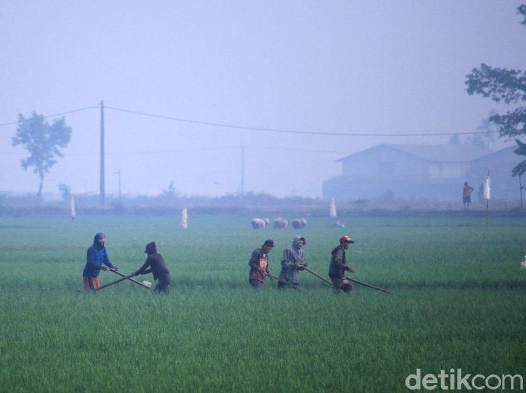 Dingin! Kabut Selimuti Area Sawah di Kabupaten Bandung