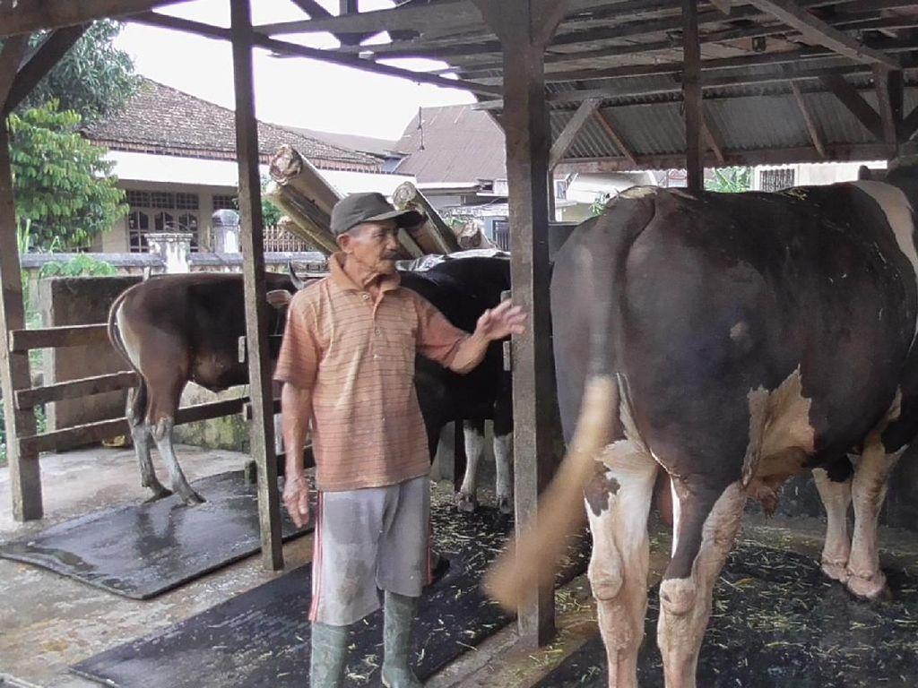 Senangnya Peternak yang Sapinya Dibeli Jokowi untuk Kurban di Sulbar