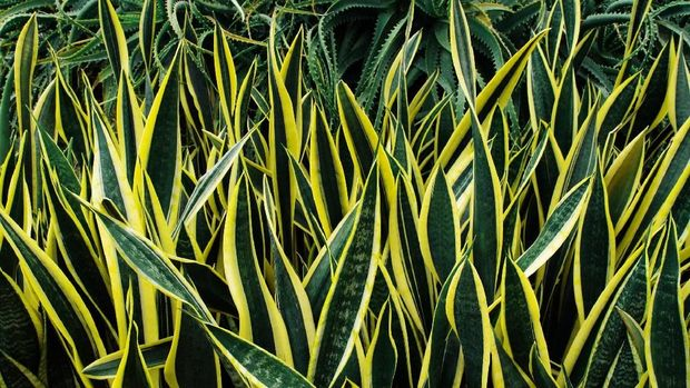 Variegated tropical leaves pattern of snake plant or mother-in-law's tongue (Sansevieria trifasciata 'Laurentii') and aloe succulent plant on dark nature background.