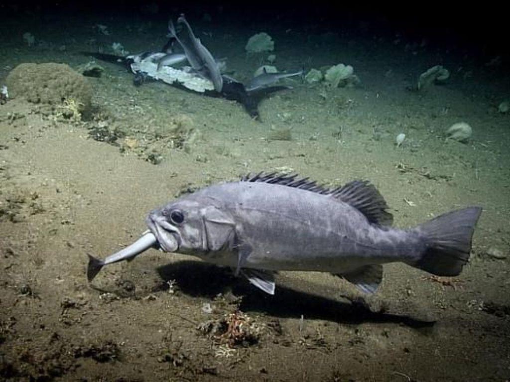 Kejadian Langka, Hiu Ini Dimakan Ikan Lainnya