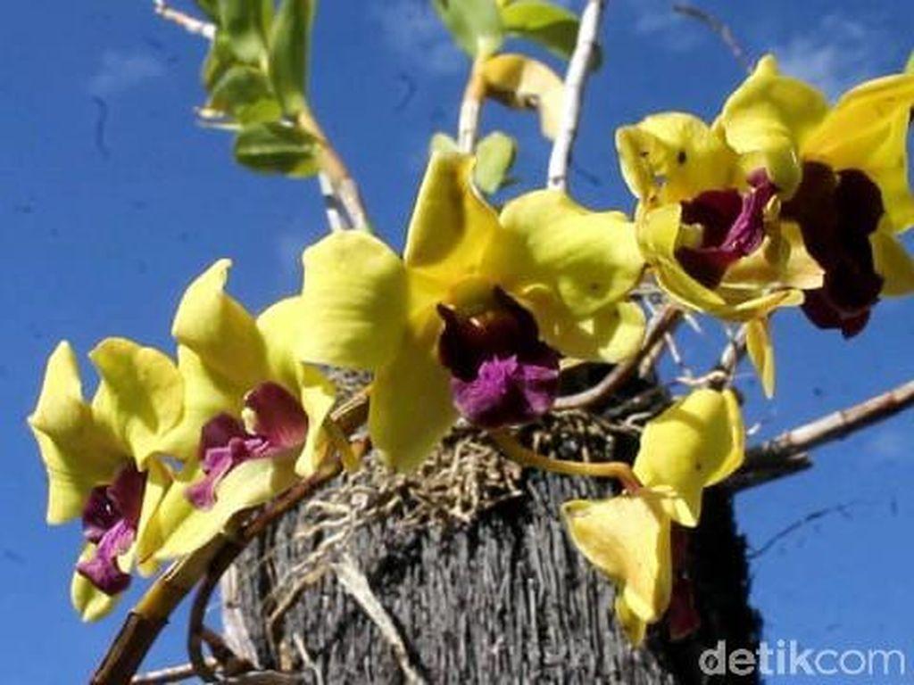 Bisnis Bunga Anggrek Menjanjikan dan Berpeluang Ekspor