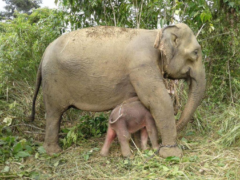 Gajah Suci Lahirkan Anak Kedua, Netizen Diajak Pilih Nama