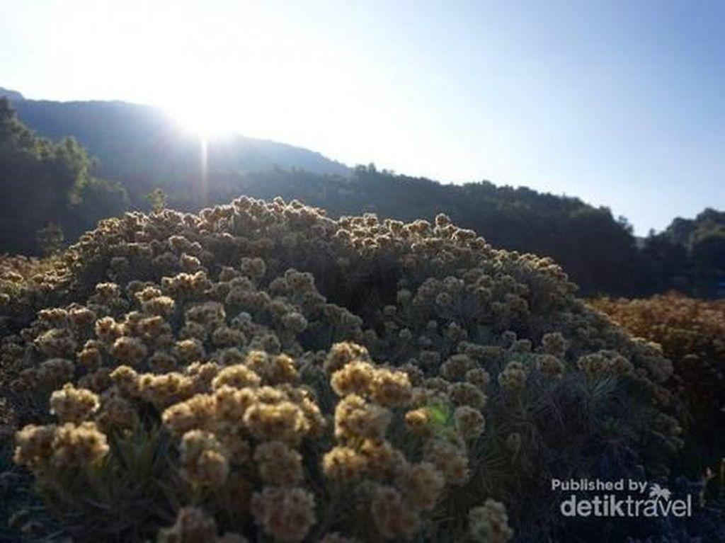 Pesona Bunga Abadi di Gunung Papandayan