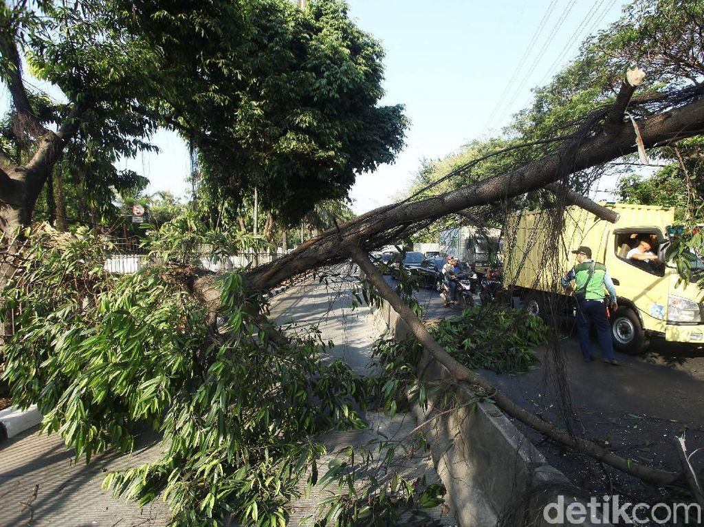 Pohon Tumbang di Daan Mogot Bikin Macet