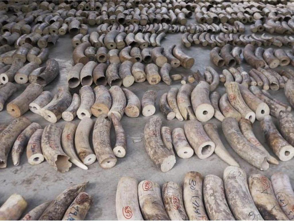 Singapura Gagalkan Penyelundupan 8,8 Ton Gading Gajah