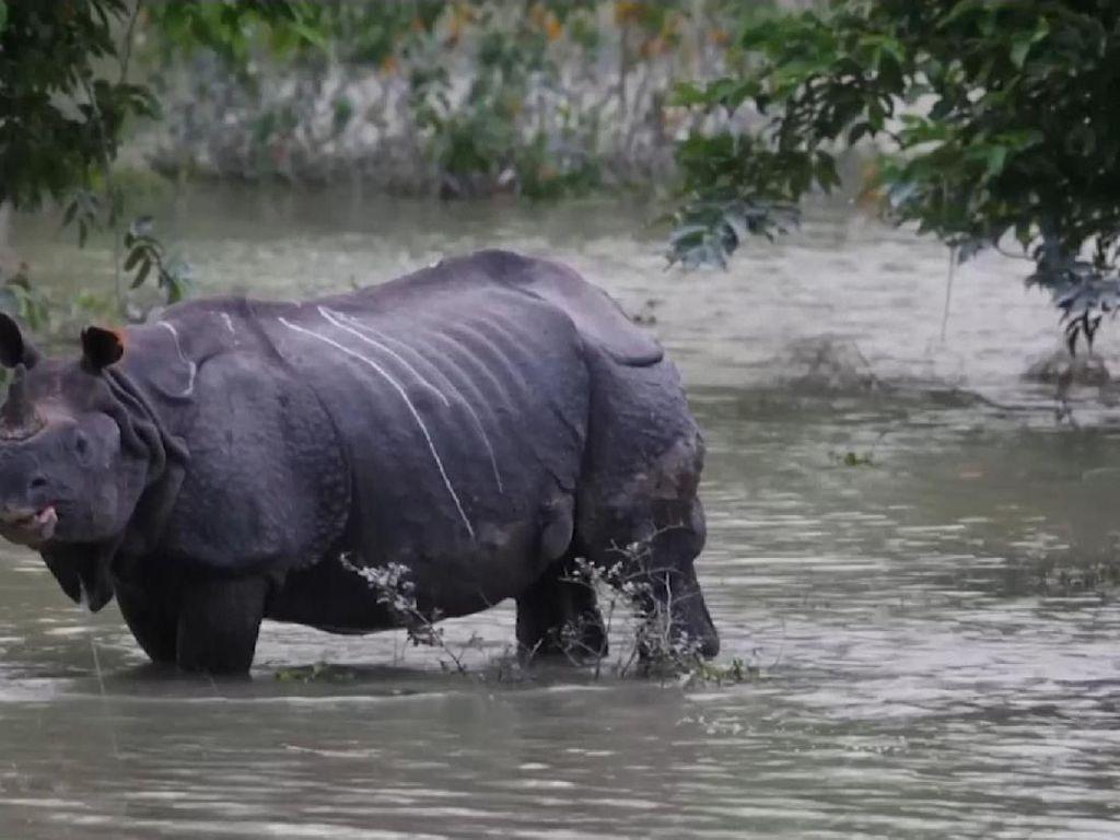 Taman Nasional di India Kebanjiran, 17 Ekor Badak Cula Satu Mati